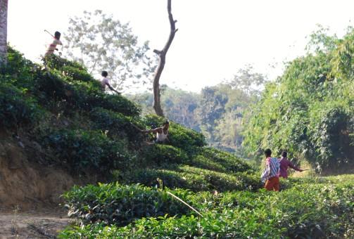 tea-garden11