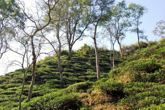 tea-garden12
