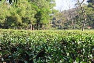tea-garden2