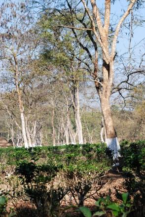 tea-garden6